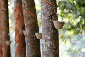 Harzernte Akazienbaum