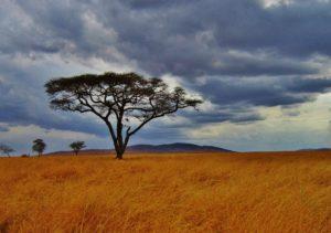 acacia-tree