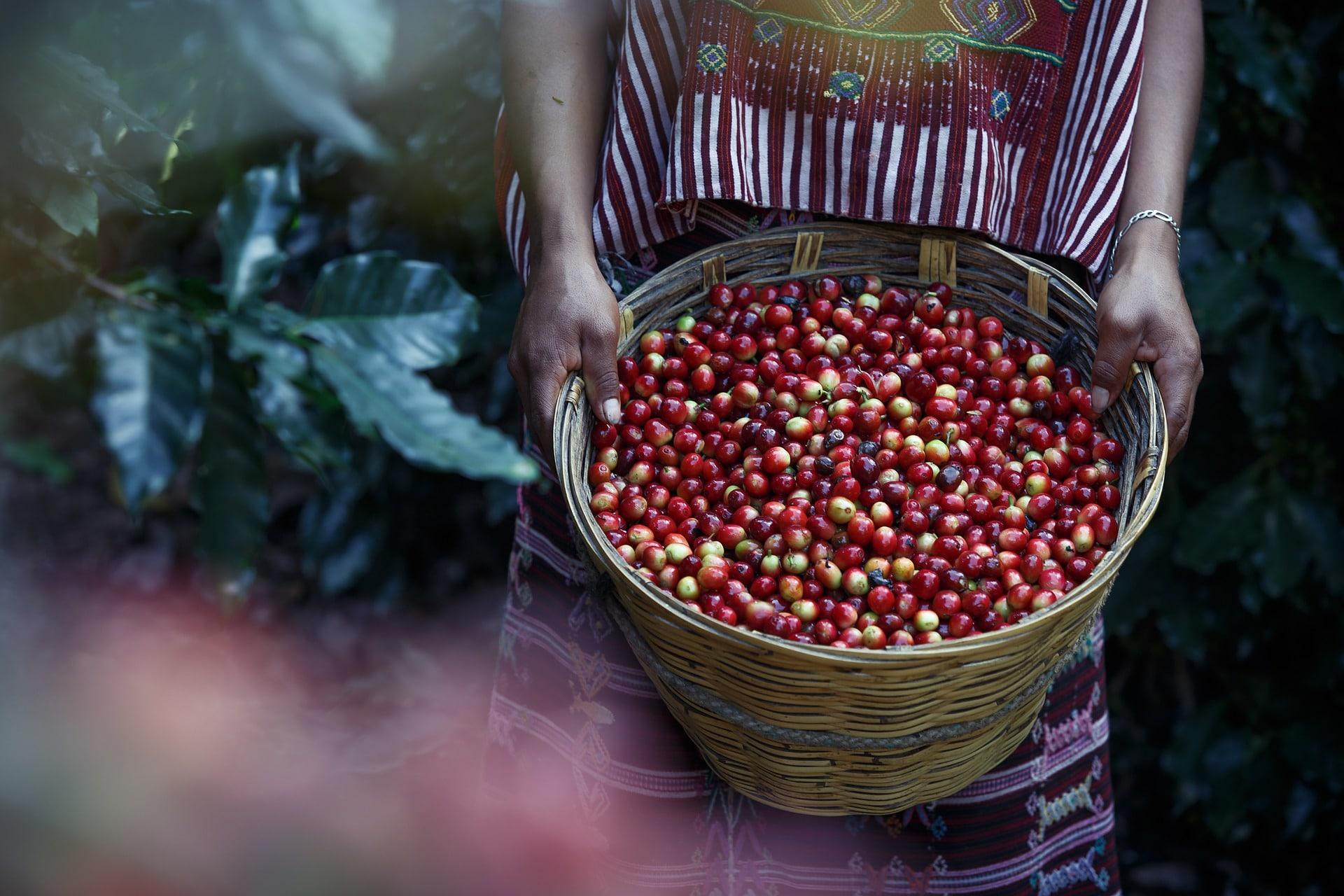 händische Kaffee Ernte ECWET