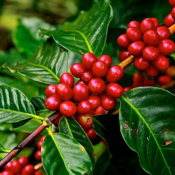 Frucht Kaffee